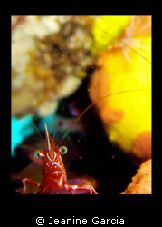 A shrimp with character. Picture taken in Ligpo, Anilao by Jeanine Garcia 